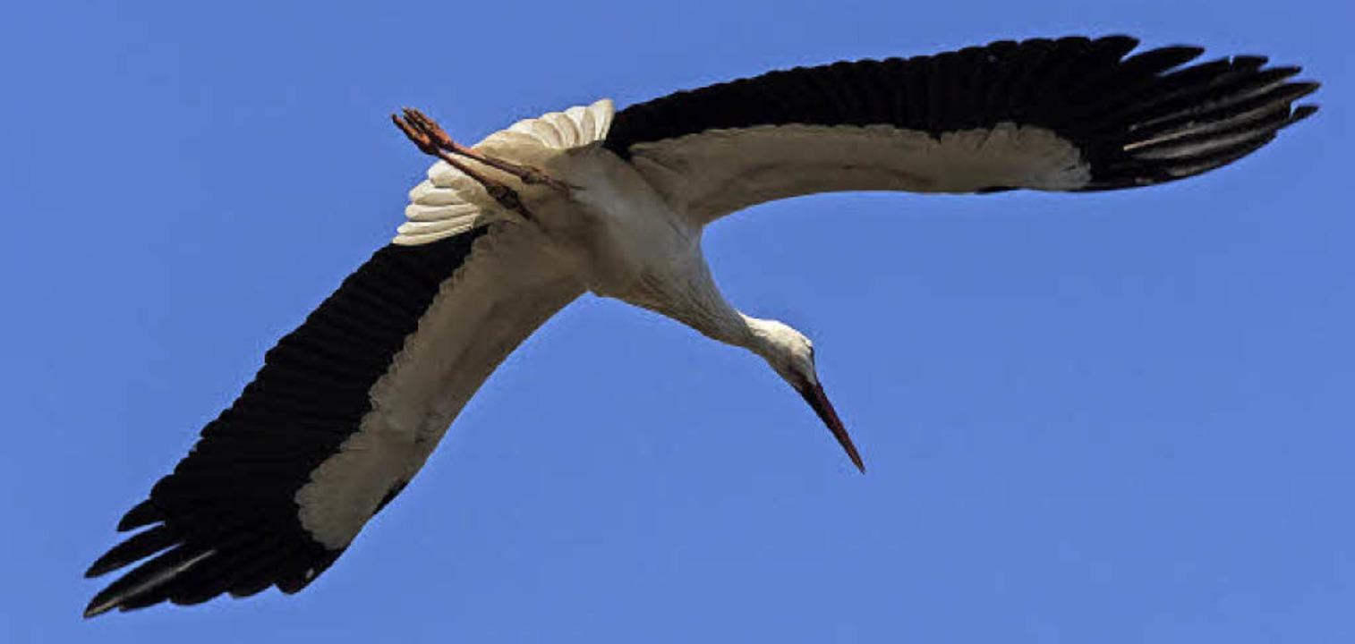 Zwei Meter Flügelspannweite hat ein ausgewachsener Storch.   | Foto: Zoo Basel