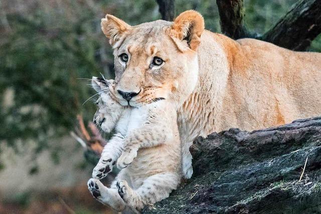 Zwei Löwenbabys im Zoo Basel geboren – erste Tapser im Freien