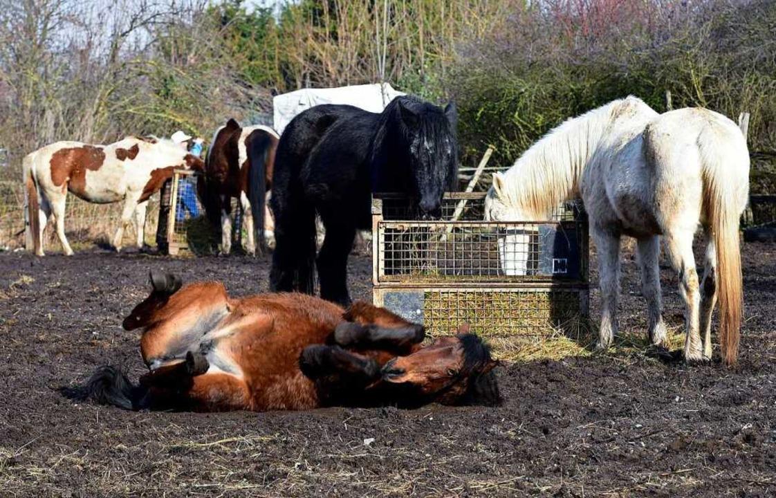 Das macht Spaß: Auf der Koppel wälzen sich Pferde im Schlamm.  | Foto: Thomas Kunz