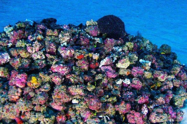 Korallenriff im Amazonas entdeckt