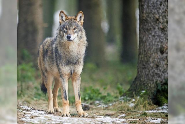 Keine Angst vor dem Wolf