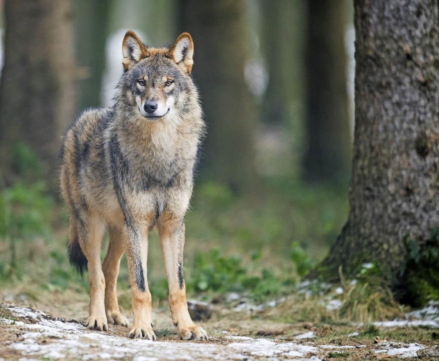 Ist der Wolf bald wieder im Schwarzwald heimisch?   | Foto: DPA