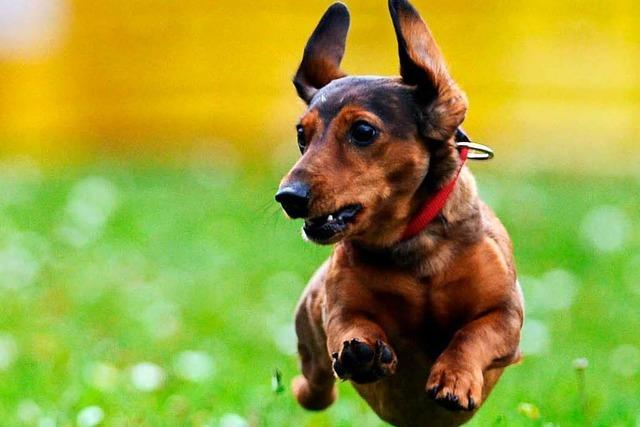 Fünf Kampfhunde gegen einen Kurzhaardackel