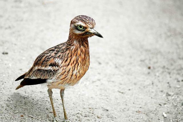 Vogel bekommt ein Schutzgebiet, damit die Bahn bauen kann