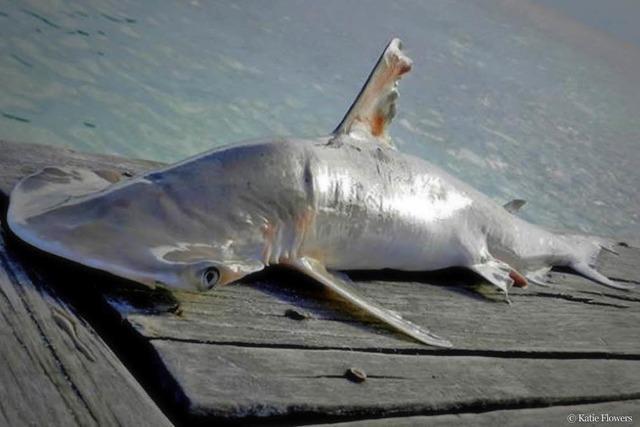 Neue Hai-Art entdeckt