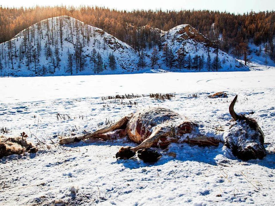 Dem  harten Winter  in der Mongolei fallen viele Tiere zum Opfer.  | Foto: dpa