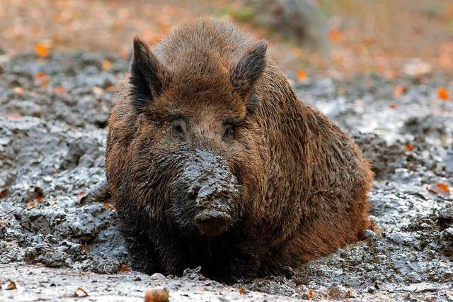 Wildschweine graben Pferderennbahn um