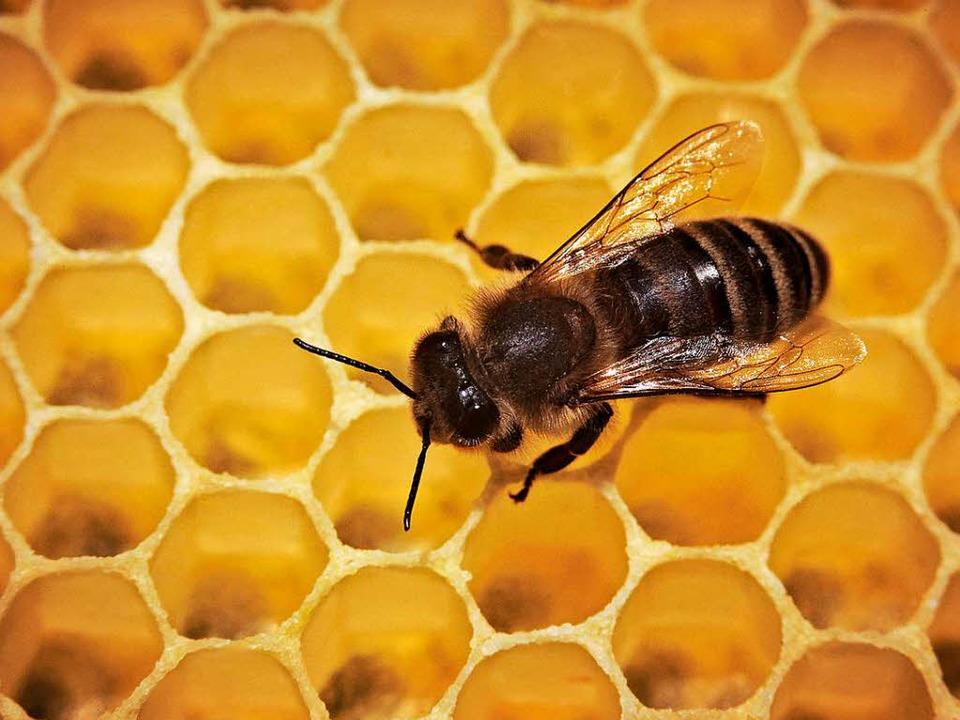 Wie sieht es mit der Gesundheit der Bienen aus?  | Foto: dpa