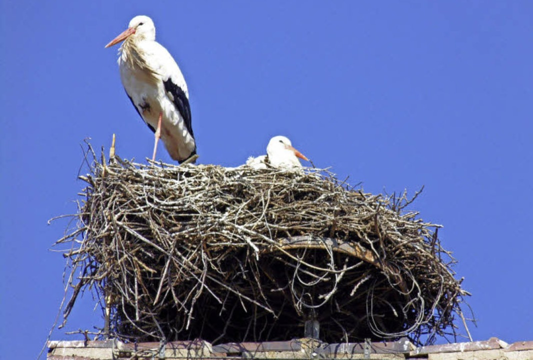 Wieder da: das Munzinger Storchenpaar   | Foto: Eva Opitz