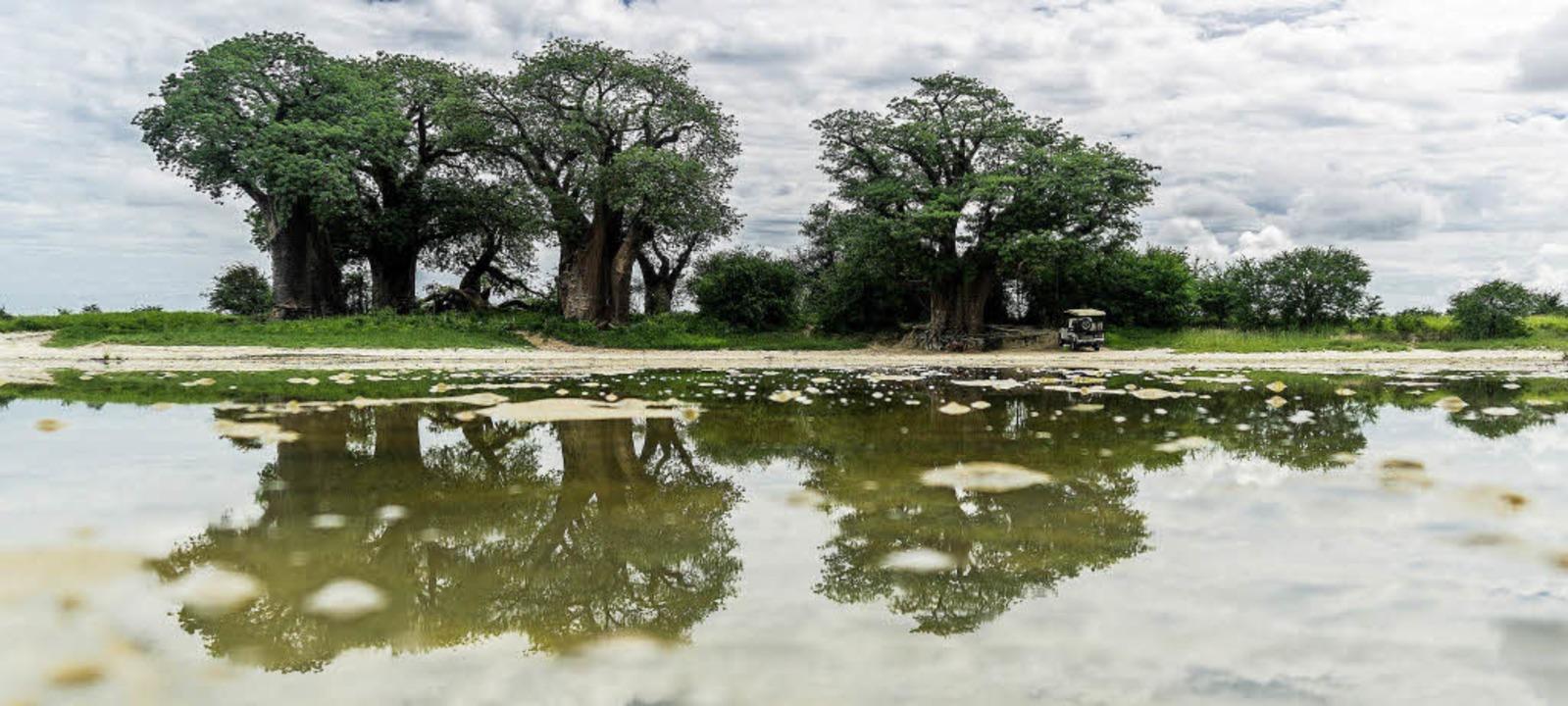 Regenzeit in Botsuana: Mächtige Affenb...lahari-Löwe und Oryx-Antilope (rechts)    Foto: dpa-tmn