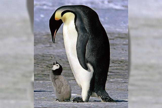 Pinguine lebten einst mit Dinos