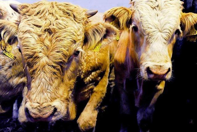 Landwirt aus Kandern will Rinder stressfrei töten