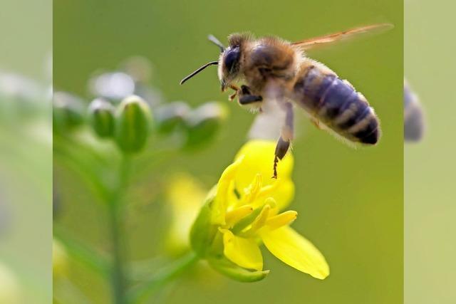Imker schwärmen aus, um für Bienen zu begeistern