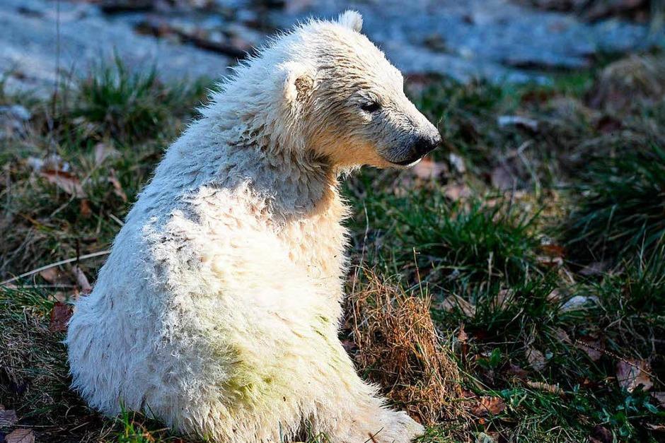 Erstmals tollt Eisbärbaby Nanuk durch den Zoo in Mulhouse. (Foto: AFP)