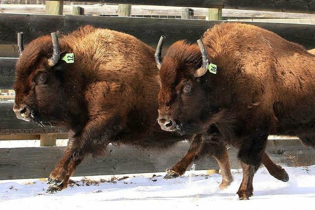 Der Bison darf wieder durch die Rockies ziehen