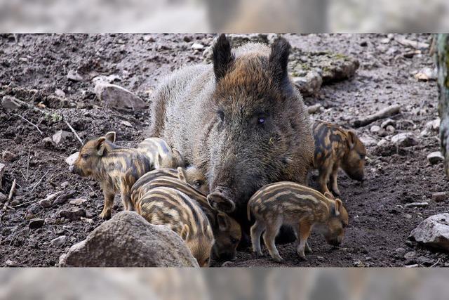 Süße Schweinerei im Wildgehege St. Blasien