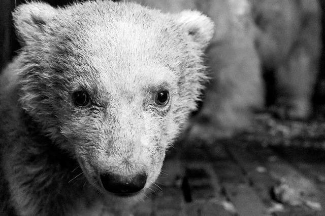 Das Eisbärenbaby Fritz im Berliner Tierpark ist tot