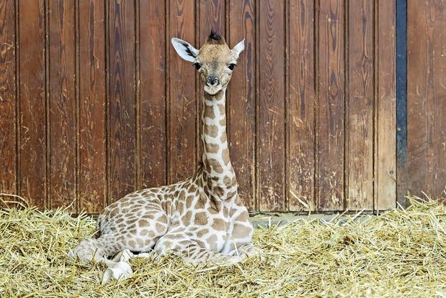 Giraffenbaby im Basler Zoo