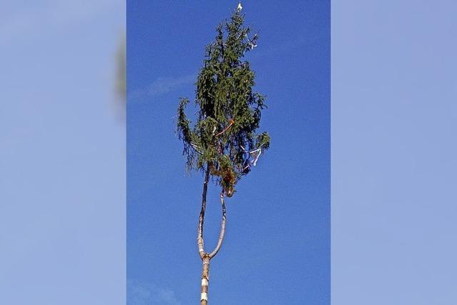 Narrenbaum wurde gefällt