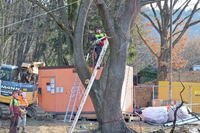 Bürger bremsen Baumfällarbeiten in Zähringen – zumindest vorerst