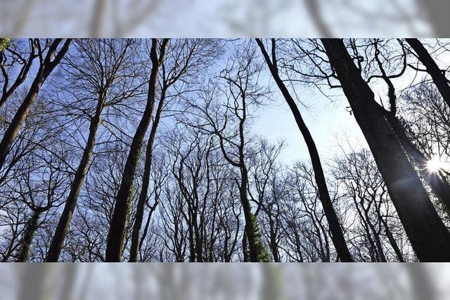 Auggener Wald braucht junge Eichen