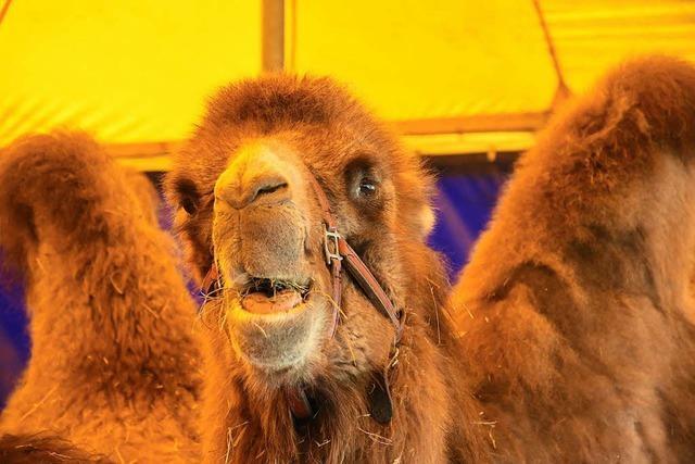 Manege frei für Clowns und Kamele