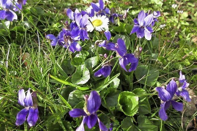 Duftendes Frühlingsblau