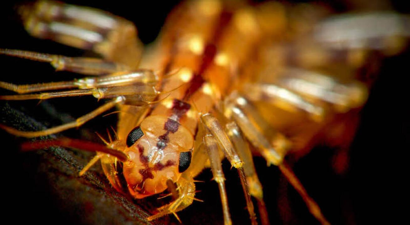 Der Spinnenläufer besitzt kräftige Giftklauen.  | Foto: Kevin Collins/Didier Descouens