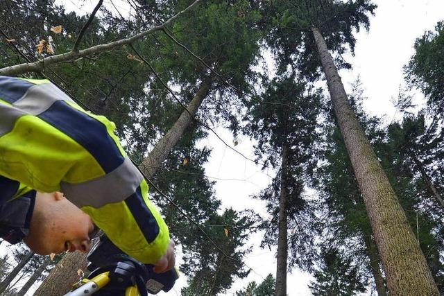 Freiburgs Waldtraut ist der höchste Baum Deutschlands