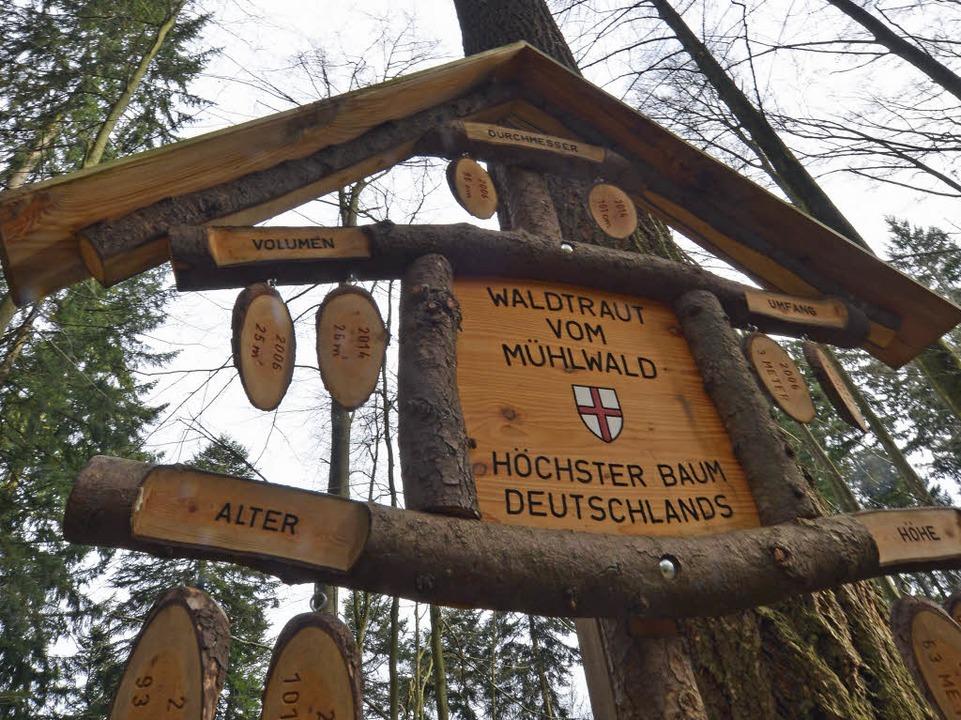 Im Stadtwald gibt es viele hohe Douglasien, die höchste markiert ein Schild.  | Foto: Michael Bamberger