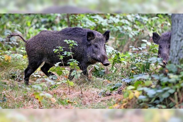 Wenn das Wildschwein Ärger macht