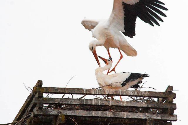 Nur 40 Meter neben dem Märkter Kirchturm hat sich ein zweites Storchenpaar sein Nest gebaut