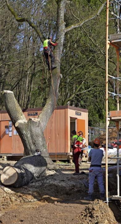 Die alte Eiche in Zähringen wurde am Donnerstag gefällt.   | Foto: Privat