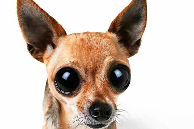 Vier Chihuahua-Welpen in die Schweiz geschmuggelt