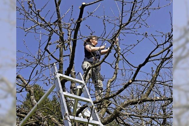 120 Obstbäume werden geschnitten