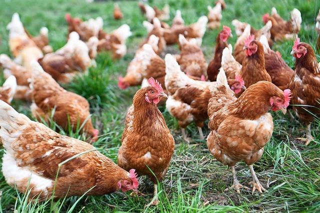 Wegen Vogelgrippe: Mann tötet 17 Hühner