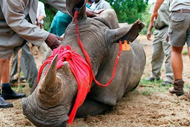 Nashörner sind wegen Wilderei vom Aussterben bedroht