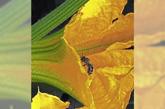 BIENEN: Vielfalt hilft Bienen