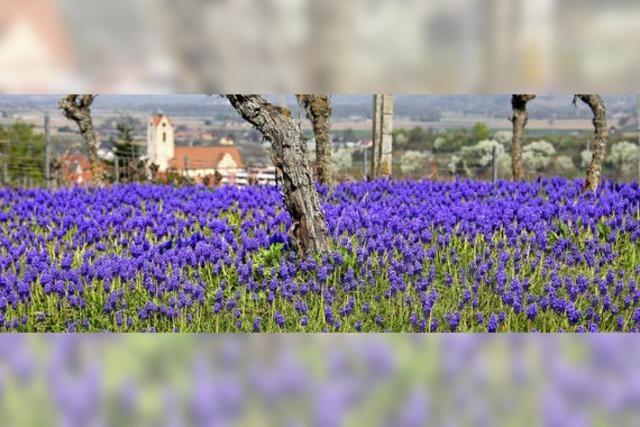 Blauer Blütenteppich in den Weinbergen