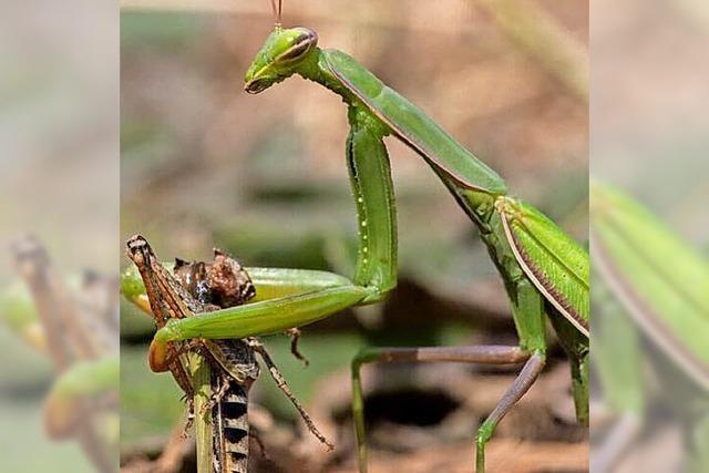 Ihre schlimmsten Feinde sind die Ameisen