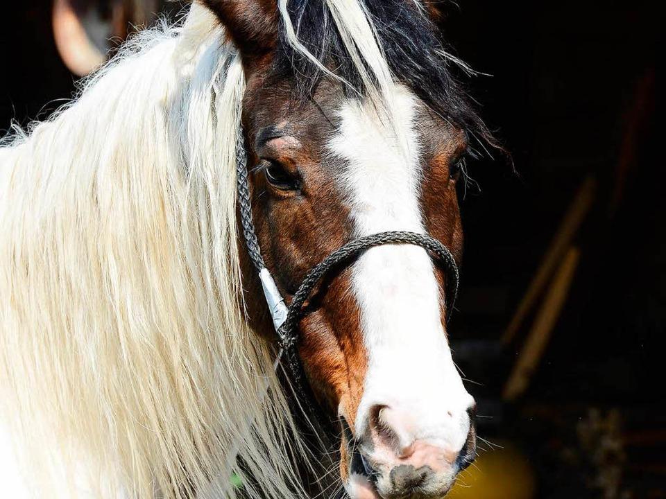 Apanatschi wurde in ihrem Stall von ei...vom Täter im gleichen stall gefesselt.    Foto: Ingo Schneider
