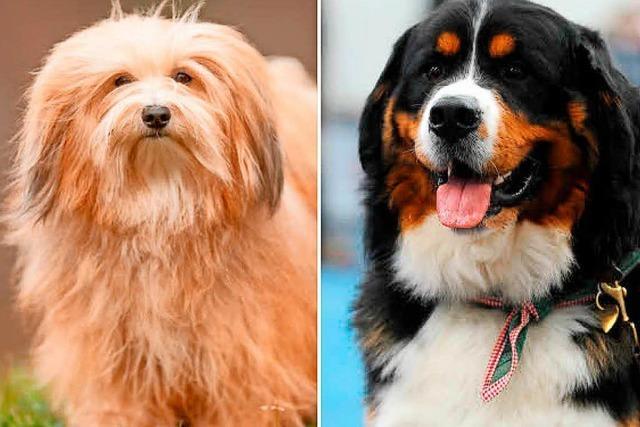 Berner Sennenhund tötet kleinen Hund in Café in Hinterzarten