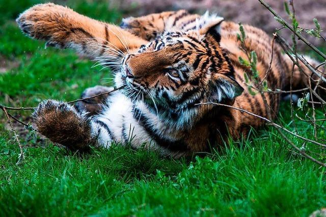 Frau zieht Tigerweibchen groß und gibt es nun ab