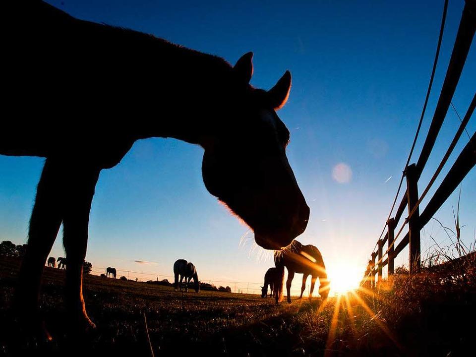 Innerhalb von zwei Wochen sind drei Pferde misshandelt worden (Symbolbild).    Foto: Julian Stratenschulte