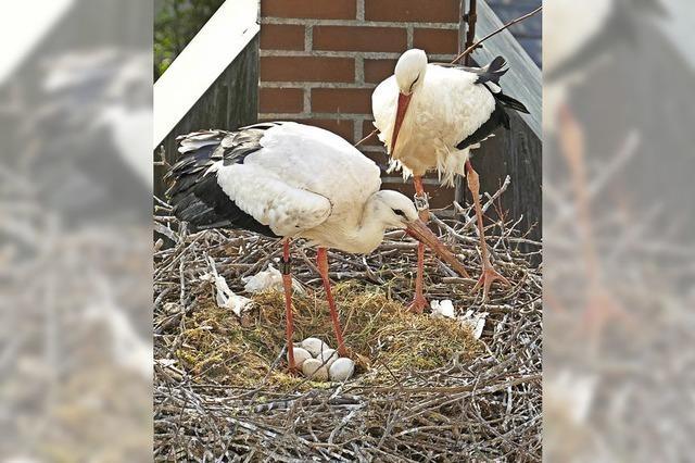 Nestbau seit dem Valentinstag