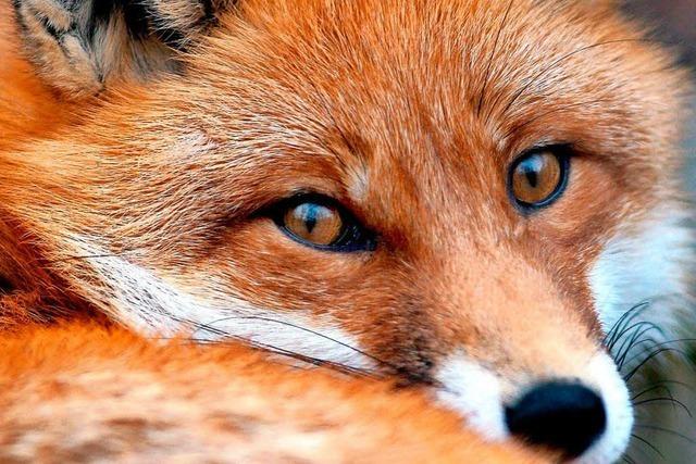 Im Wald bei Vörstetten wurden drei Füchse ohne Köpfe gefunden