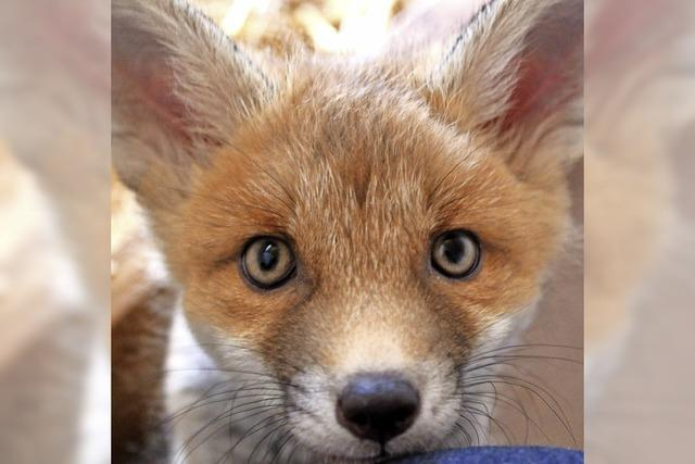 Verein: Wildtiere liegen lassen!
