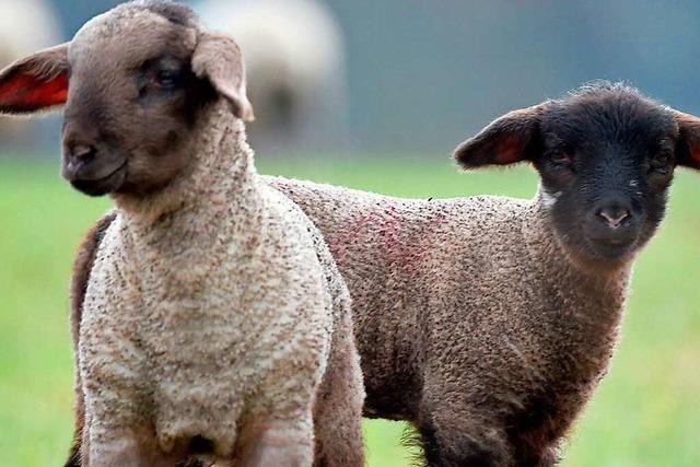 Tradition zu Ostern: Ein Lamm als Festtagsbraten