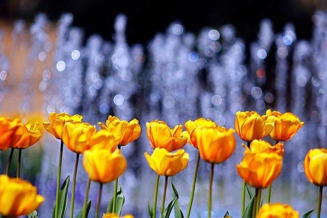 Das Lahrer Tulpenfest findet am kommenden Sonntag statt