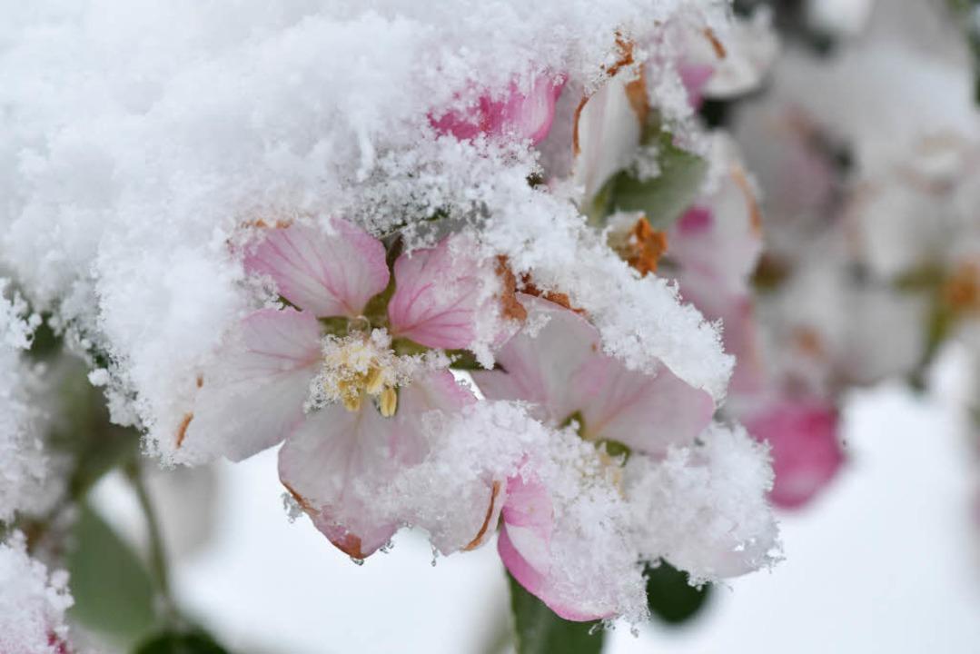 In Baden-Württemberg setzen Frost und Schnee im April den Apfelblüten zu.  | Foto: dpa
